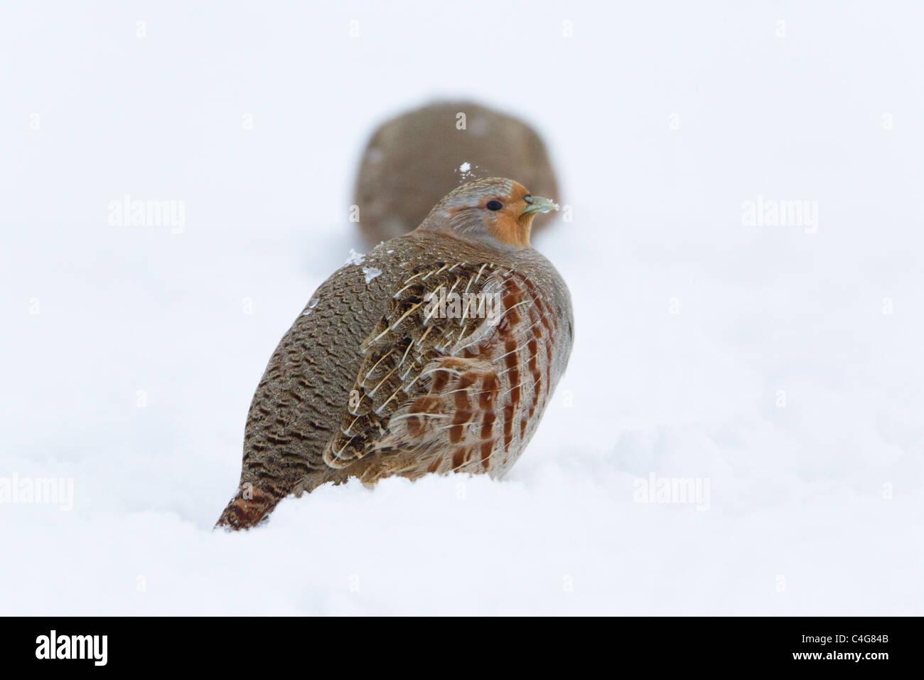 Grey Partridge (Perdix perdix), covey on snow covered field, Lower Saxony, Germany - Stock Image