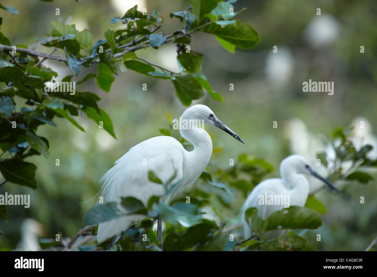 cranes in the trees nr Can Tho, Mekong Delta, Vietnam Stock Photo
