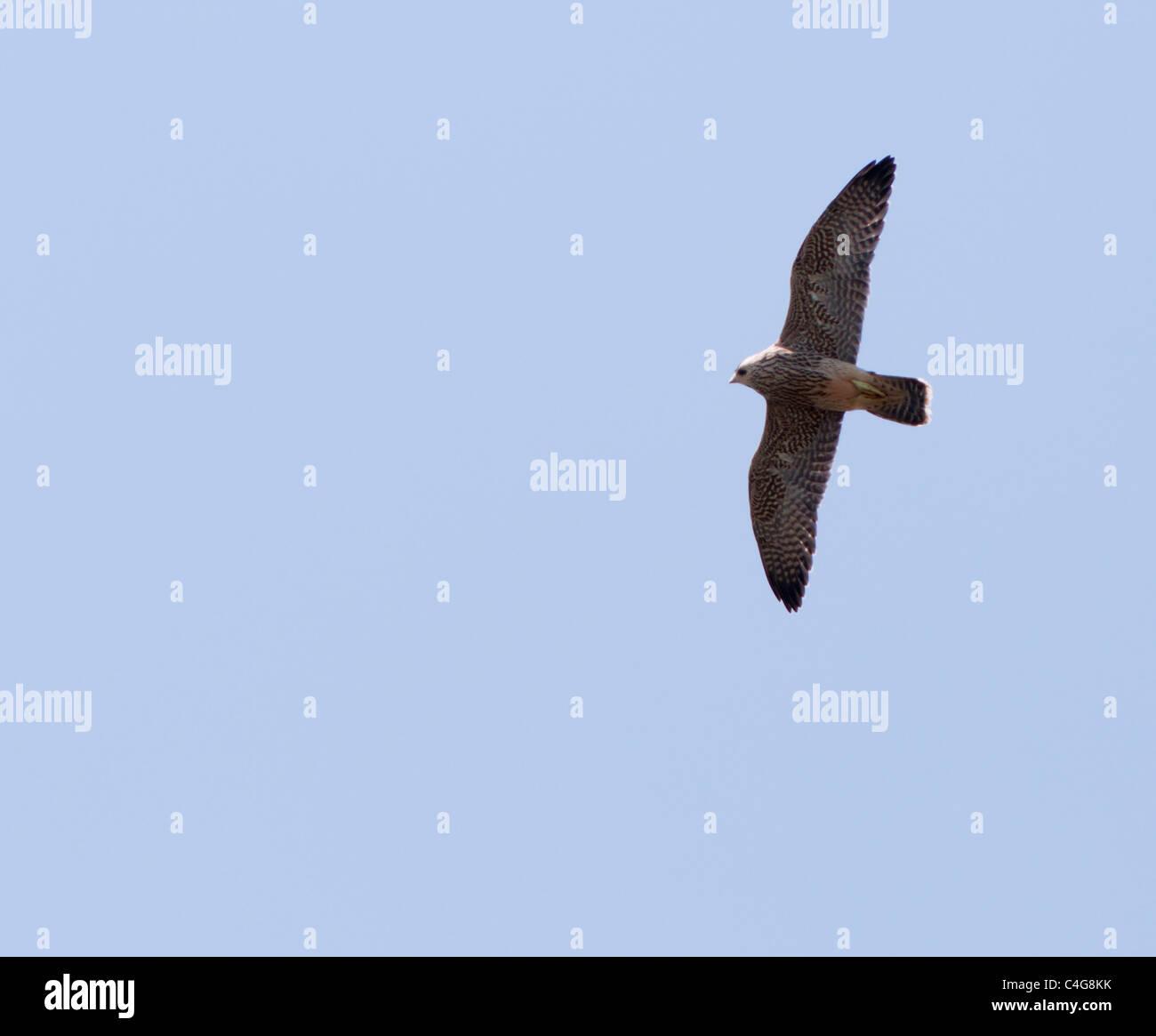 Juvenile Peregrine Falcon (Falco peregrinus) in flight above Lincoln Cathedral - Stock Image