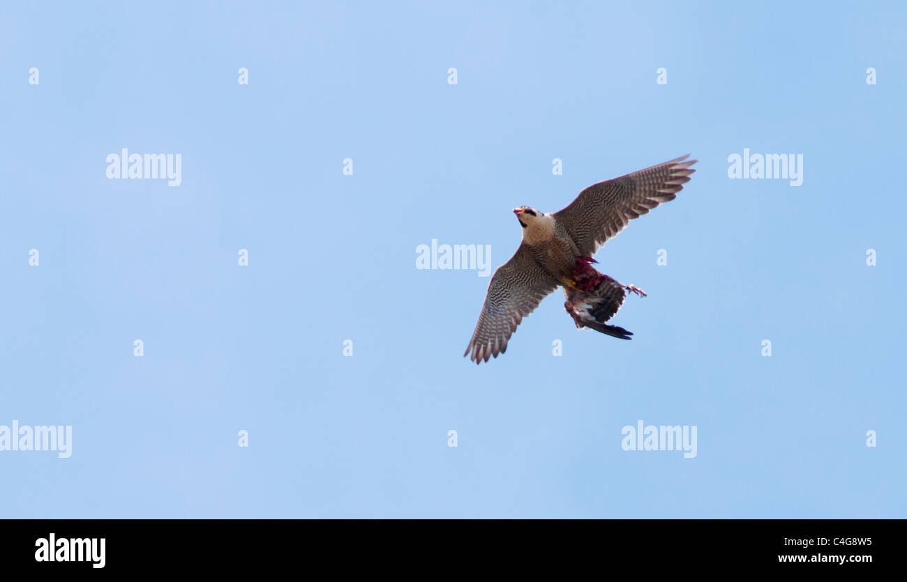Juvenile Peregrine Falcon (Falco peregrinus) in flight above Lincoln Cathedral with prey - Stock Image