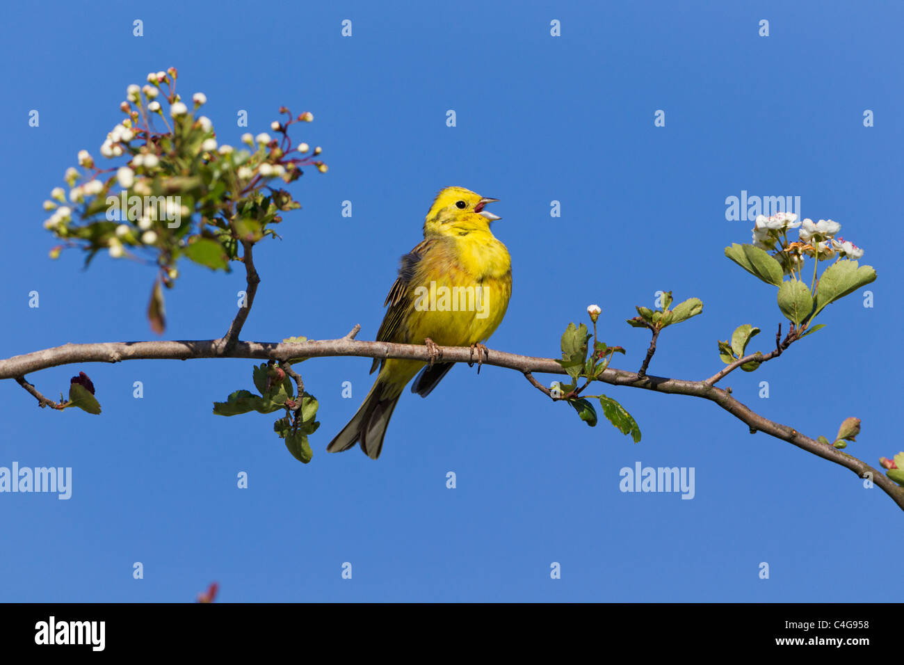 Yellowhammer (Emberiza citrinella), male singing from hawthorn branch, Lower Saxony - Stock Image