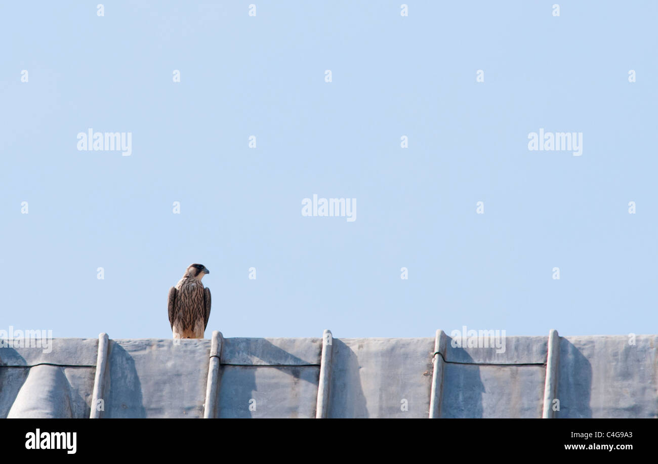 Juvenile Peregrine Falcon (Falco peregrinus) perched on top of lead roof on Lincoln Cathedral - Stock Image