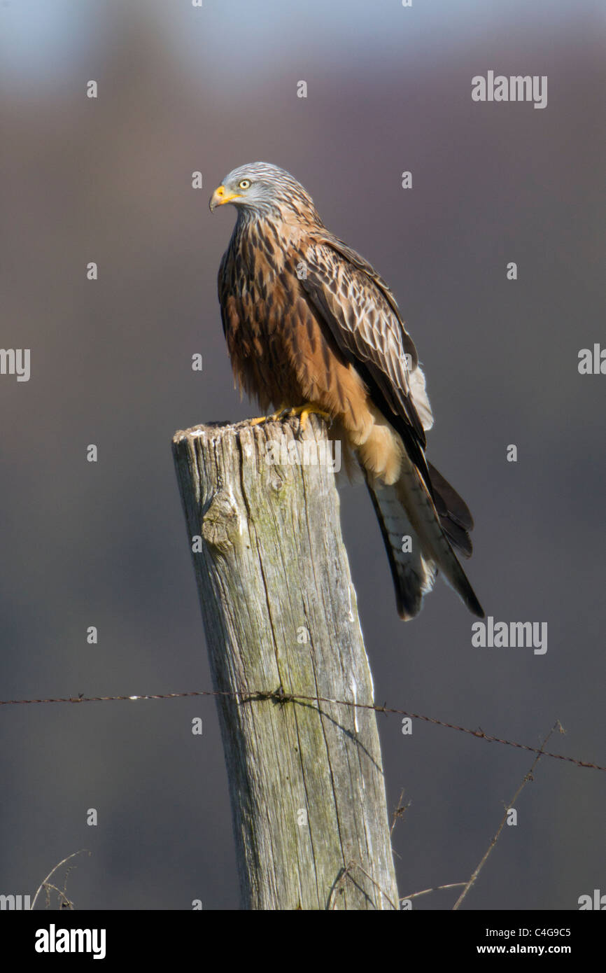 Red Kite, (Milvus milvus), perched on fence post, Lower Saxony, Germany - Stock Image