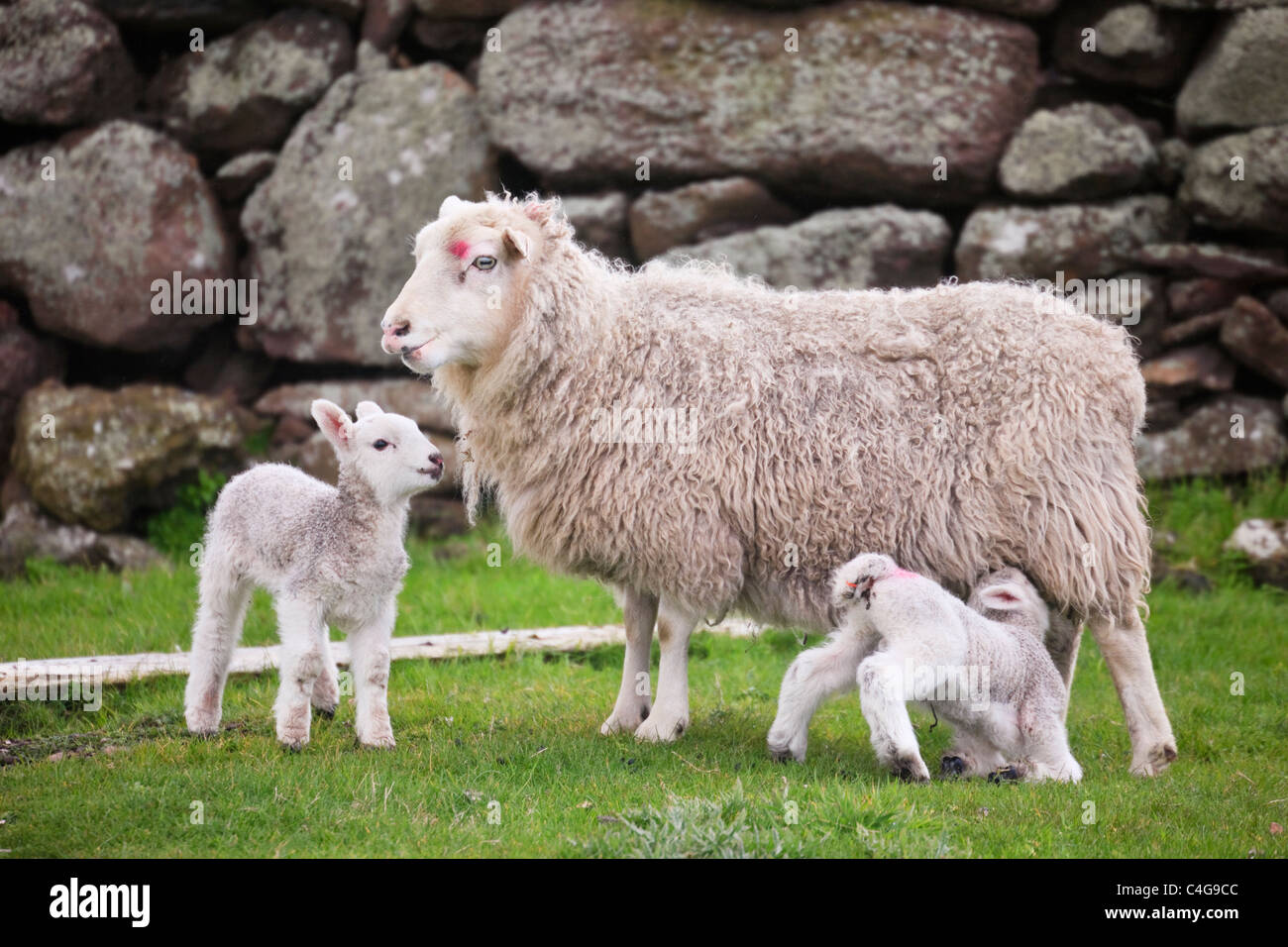 Sheep ewe with two young twin newborn lambs by a stone wall in Scottish countryside. Shetland Islands Scotland UK - Stock Image