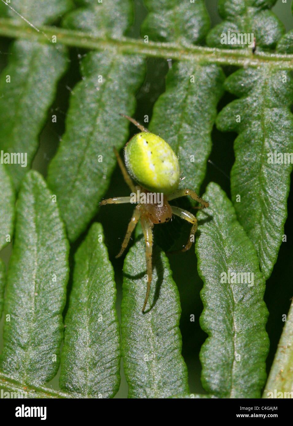 Cucumber Green Spider or Green Orb Weaver Spider, Araniella cucurbitina, Araneidae. Aka Gourd or Pumpkin Spider. - Stock Image