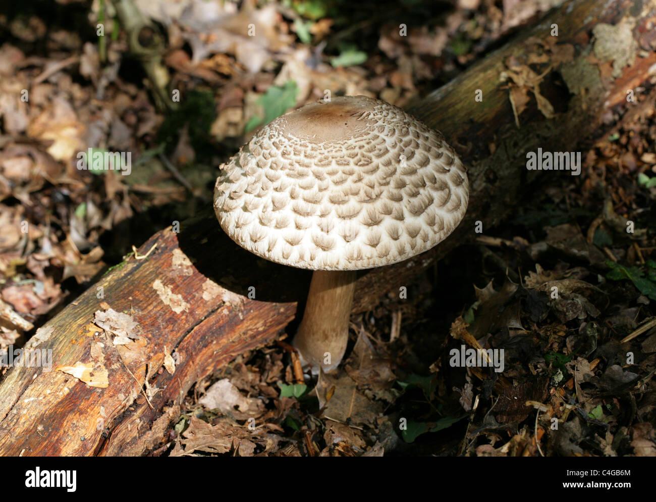 Shaggy Parasol Mushroom, Chlorophyllum rhacodes, Agaricaceae - Stock Image