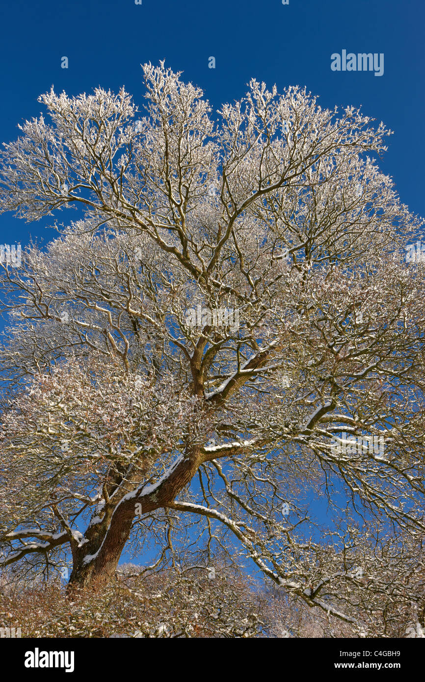 frost and snow on the trees nr Milborne Port, Somerset, England - Stock Image