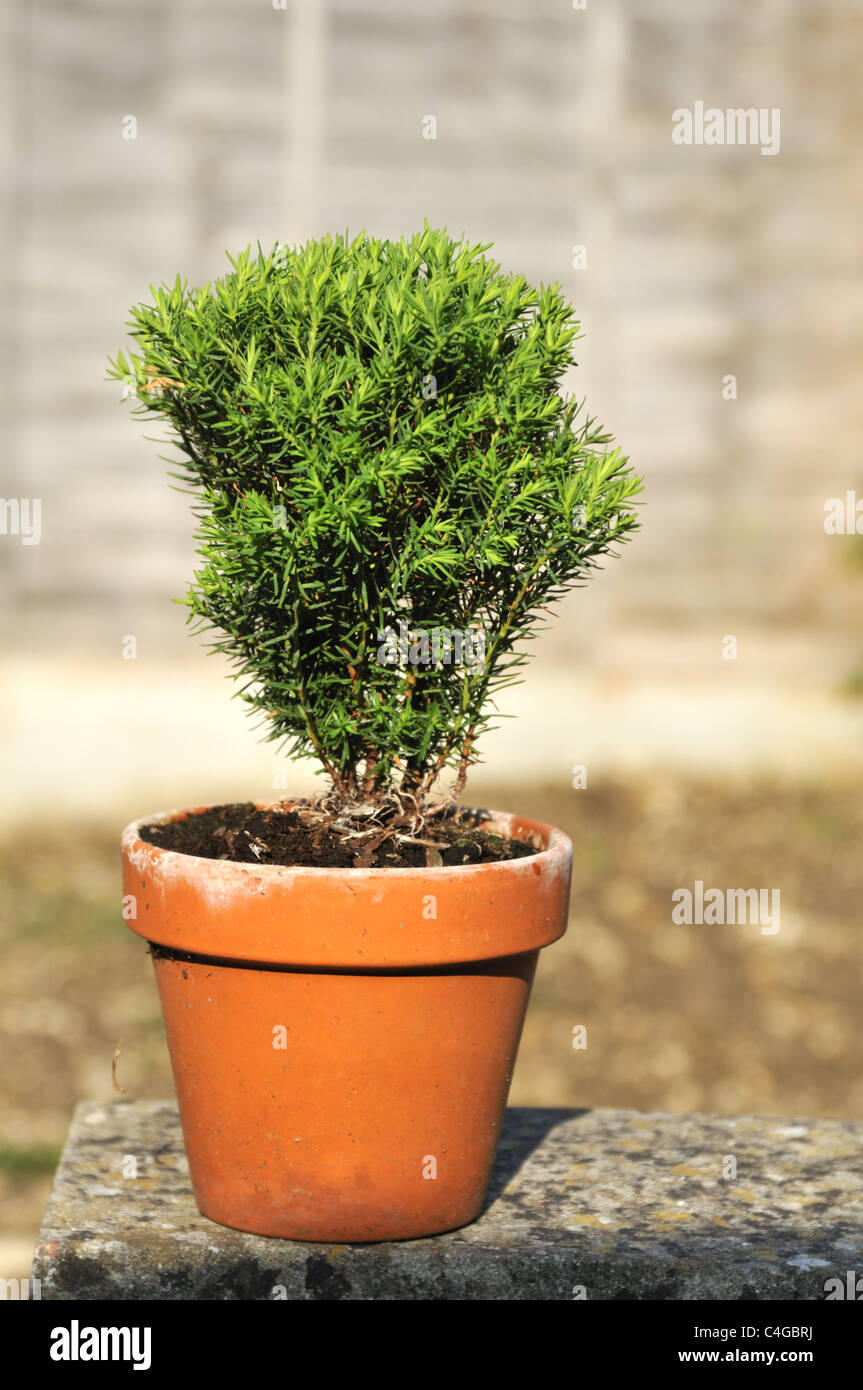 Dwarf Slow Growing Conifer Thuja occidentalis 'Teddy' in terracotta pot. - Stock Image
