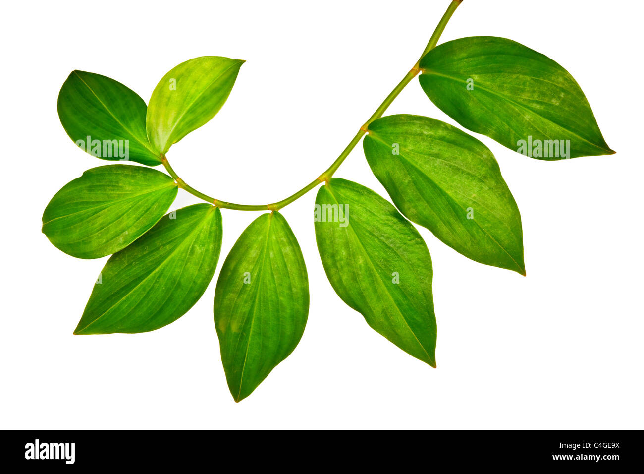 Branch of green leaves isolated on white background - Stock Image