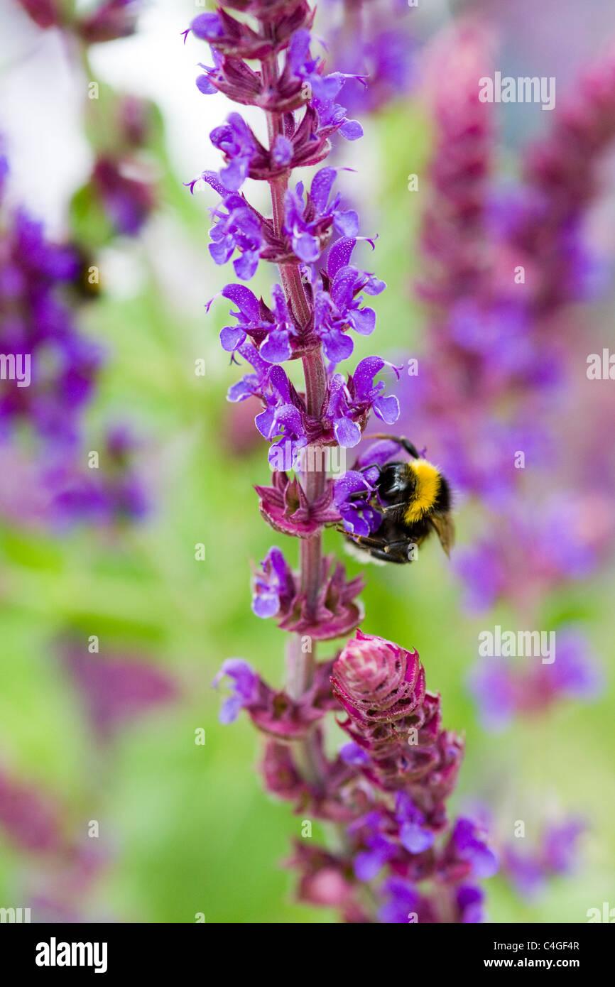 Salvia x sylvestris Viola Klose with a Bumble bee collecting Nectar - Stock Image