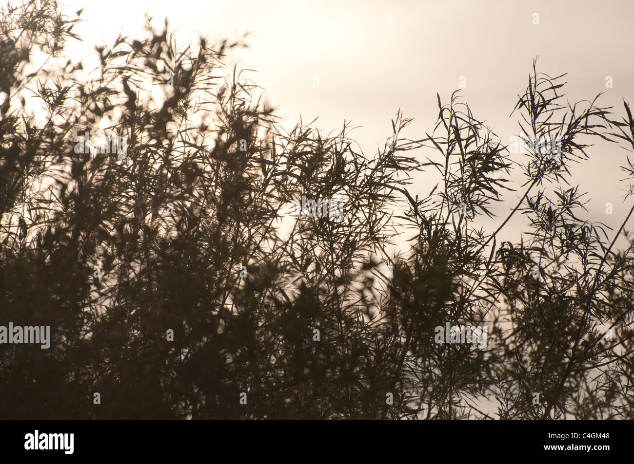 Willow Trees in silhouette with movement and sepia effect. UK - Stock Image