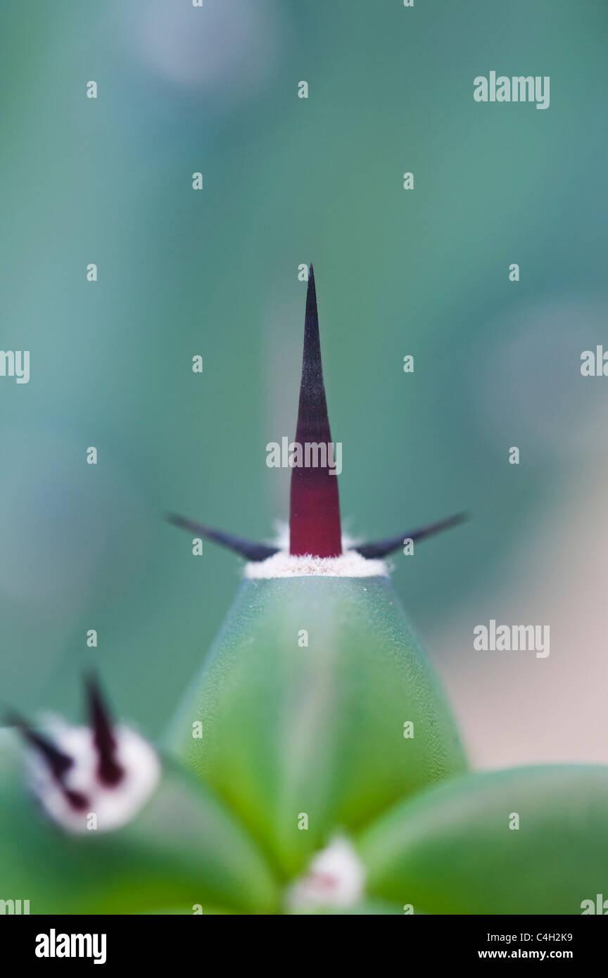Myrtillocactus geometrizans. Whortleberry Cactus - Stock Image