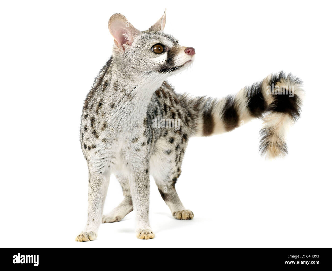A genet from the family viverridae, related to the civet. - Stock Image