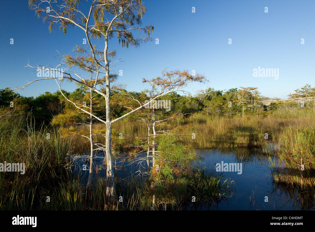 Bald cypress trees, Taxodium distichum, Pa-hay-okee Trail Overlook, Everglades National Park, Florida, USA - Stock Image