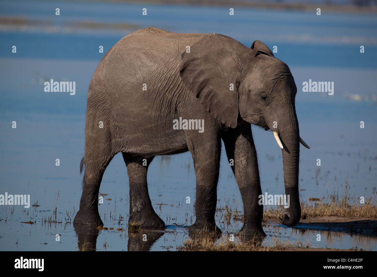 Young Elephant (Loxodonta Africana) In Chobe National Park, Botswana - Stock Image