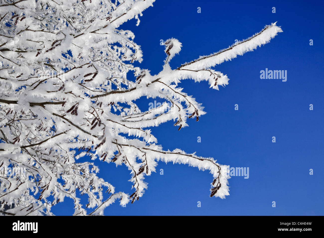 White hoarfrost on the branches of a Hazel tree against a clear blue sky in cold winter weather. Austria, Europe. - Stock Image