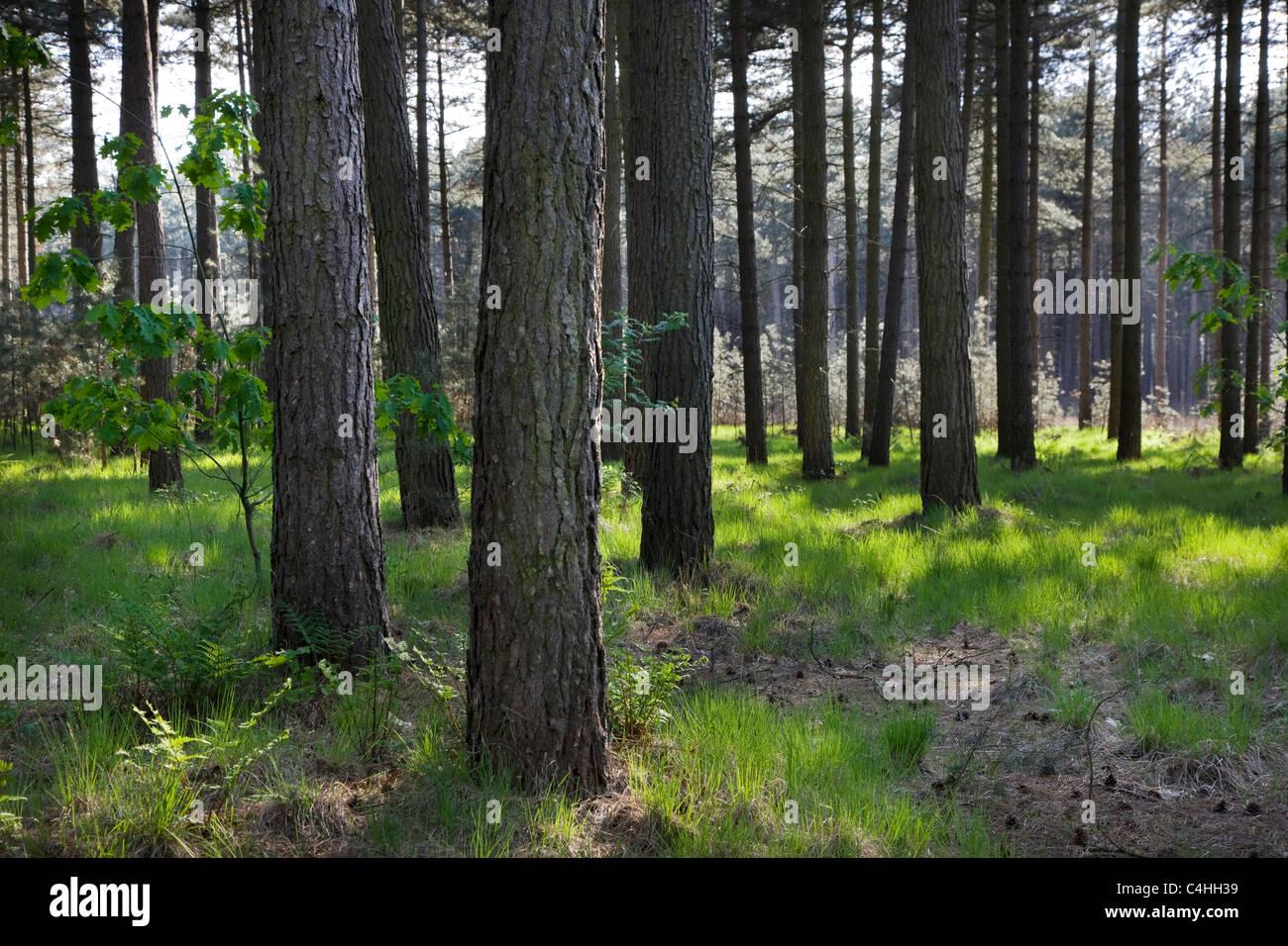 Coniferous forest with European black pines (Pinus nigra), Belgium - Stock Image