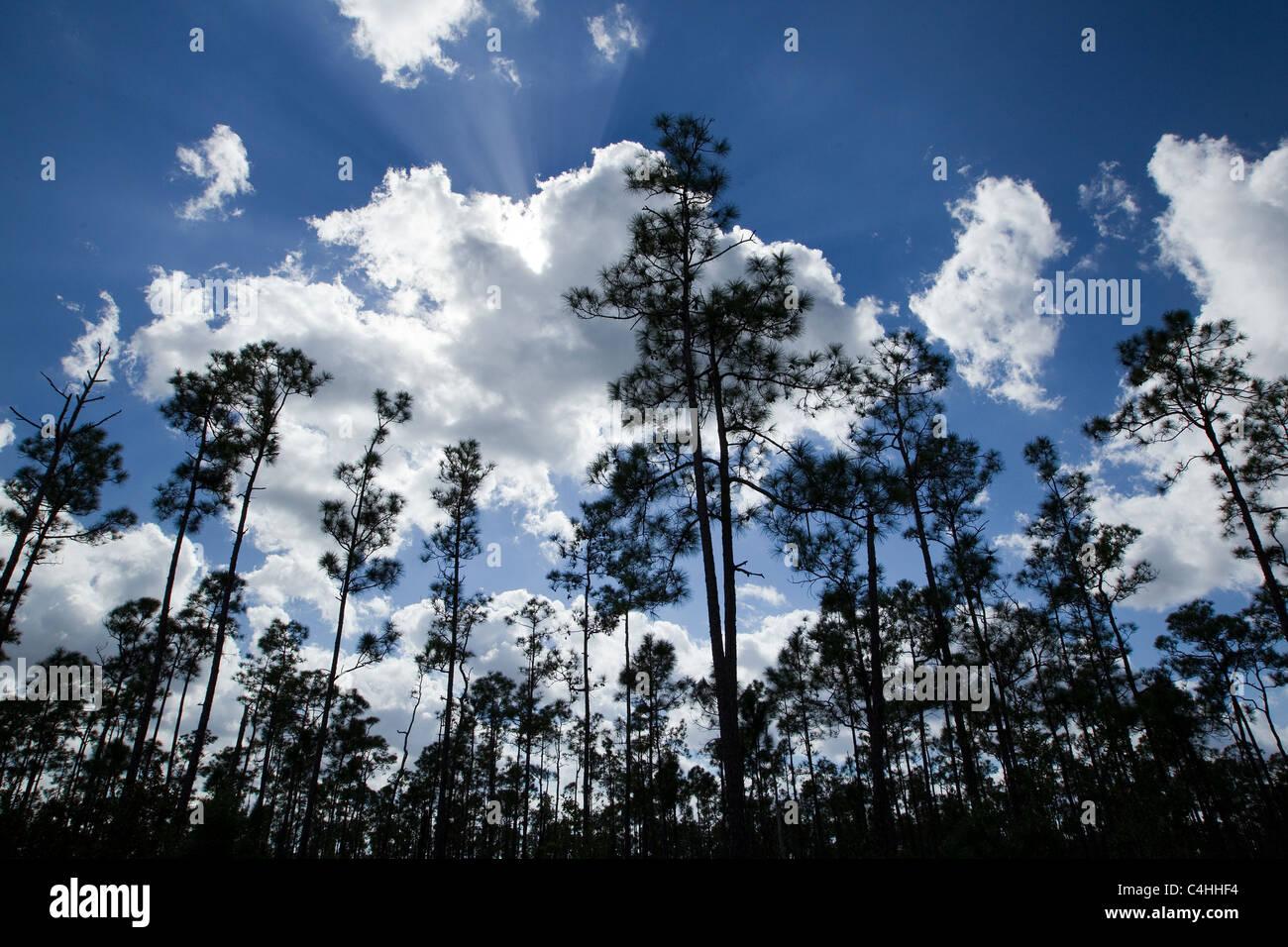 Slash pines and cumulus clouds, Pinus elliottii, Pinelands, Everglades National Park, Florida, USA - Stock Image
