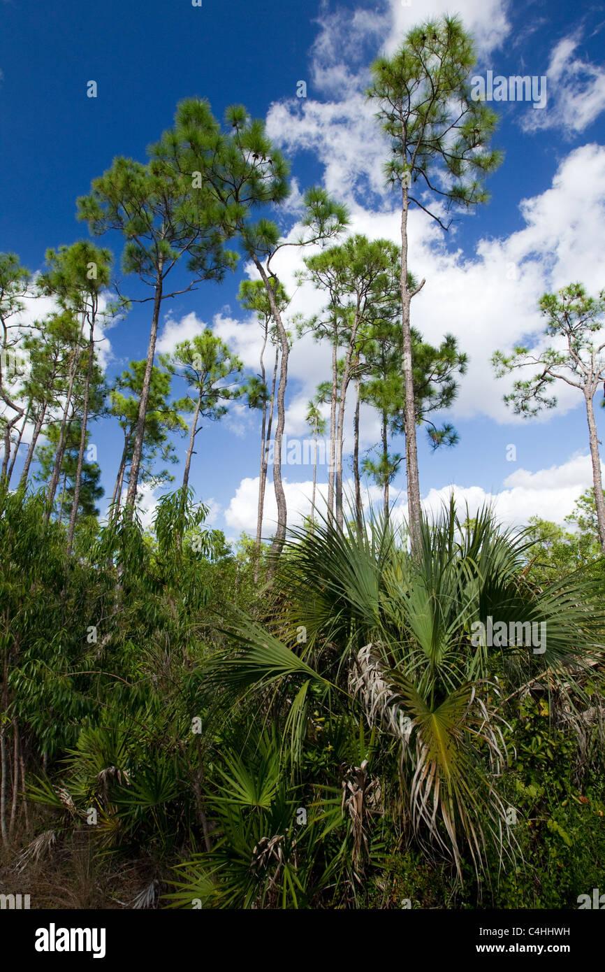 Slash pines, Pinus elliottii, and Everglades palm, Acoelorrhaphe wrightii, Pinelands, Everglades National Park, - Stock Image