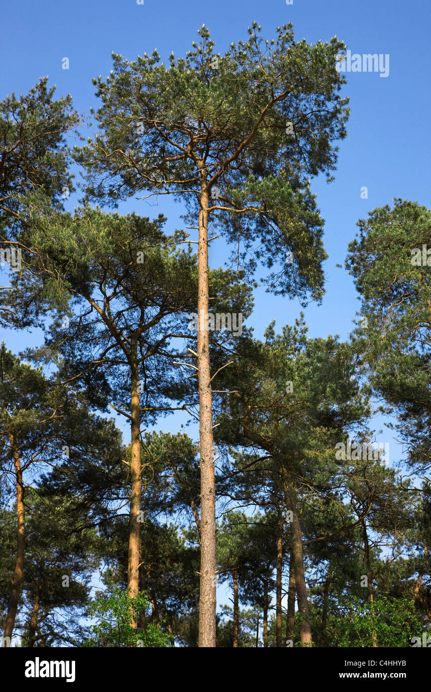 Scots Pine (Pinus sylvestris) in coniferous forest, Belgium - Stock Image
