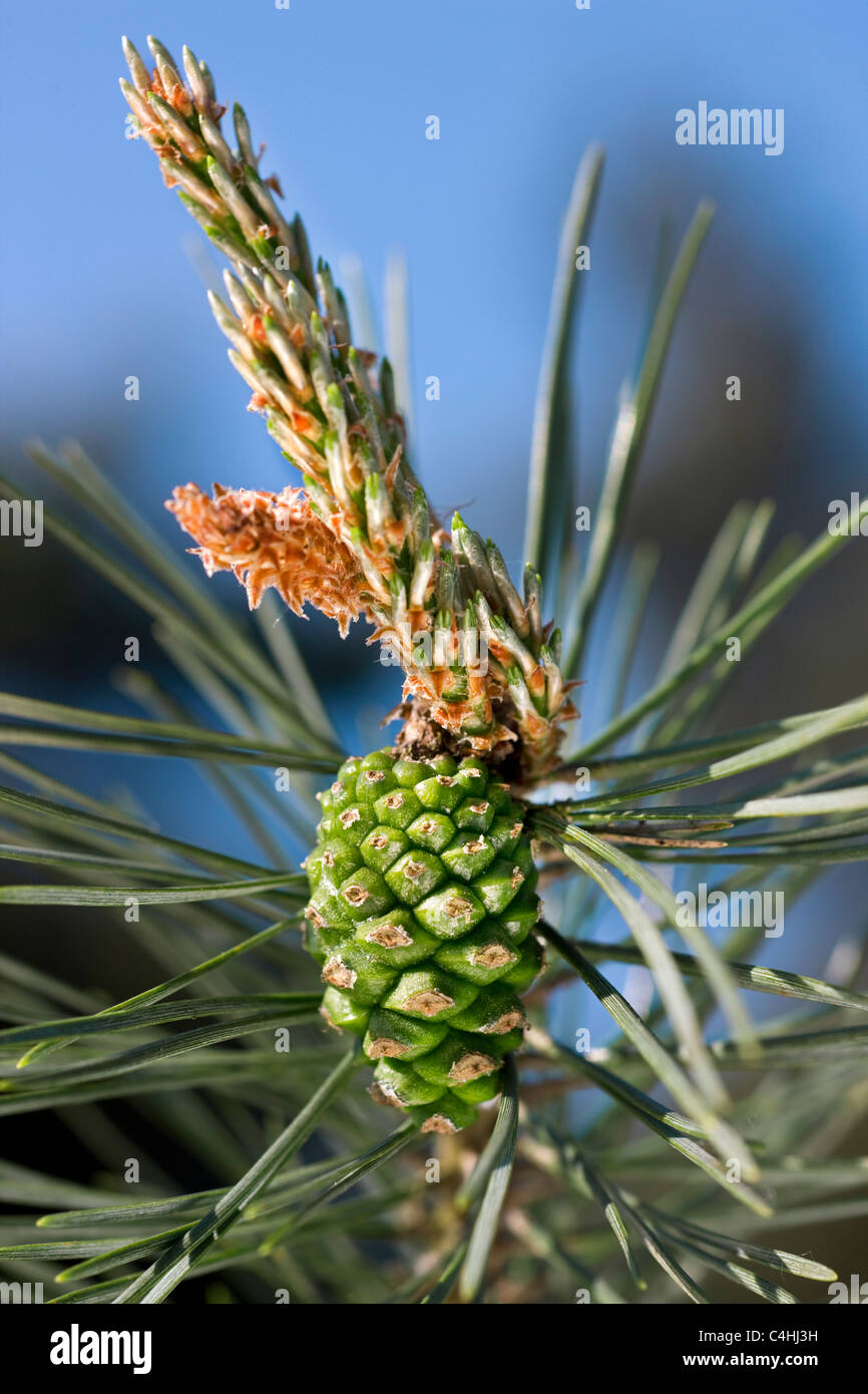 Scots Pine (Pinus sylvestris) female flowers on tip of bud with a one year old cone, Belgium - Stock Image