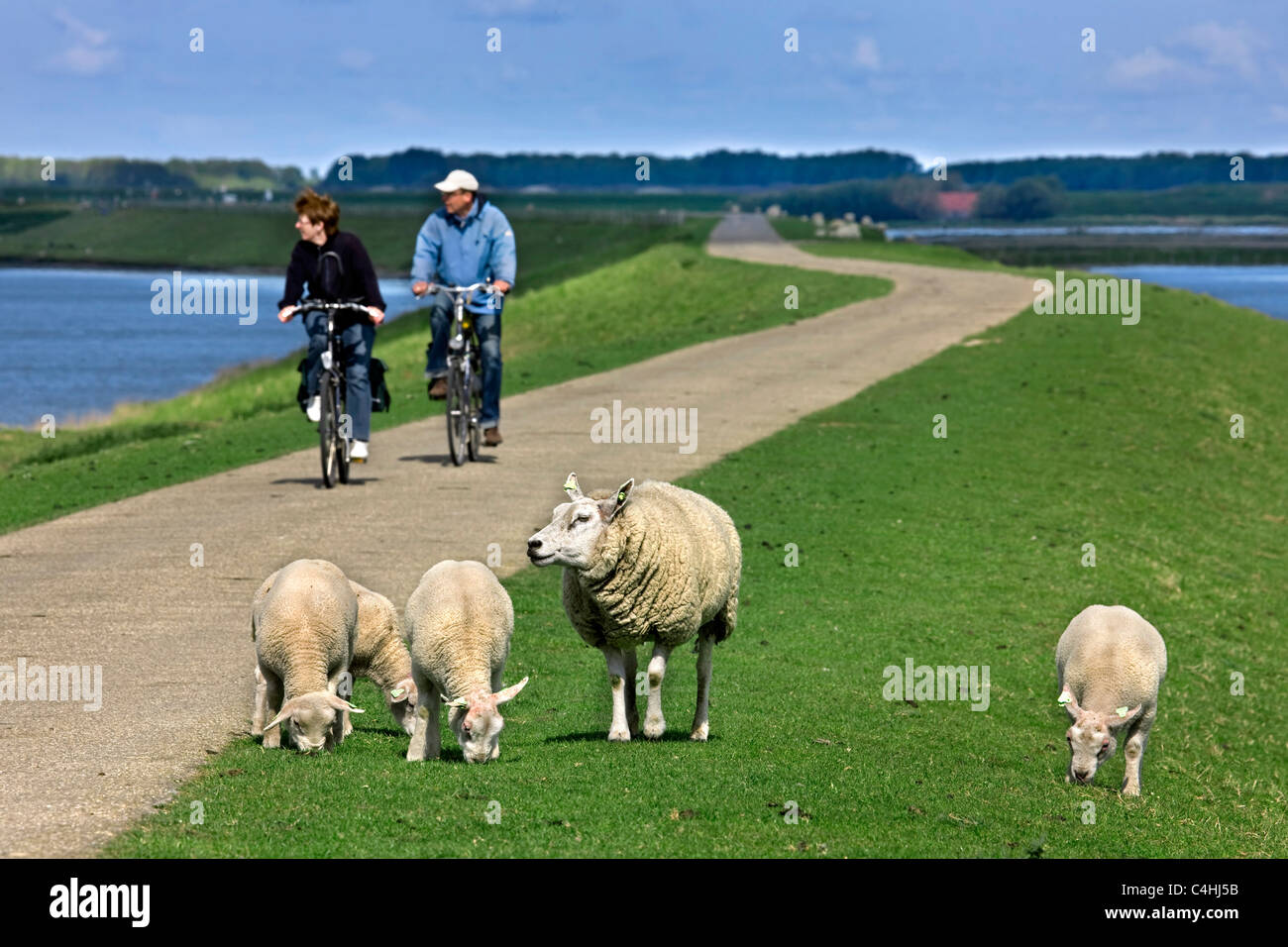 Sheep ewe (Ovis aries) with lambs and two cyclists riding their bicycles on dyke, The Netherlands - Stock Image