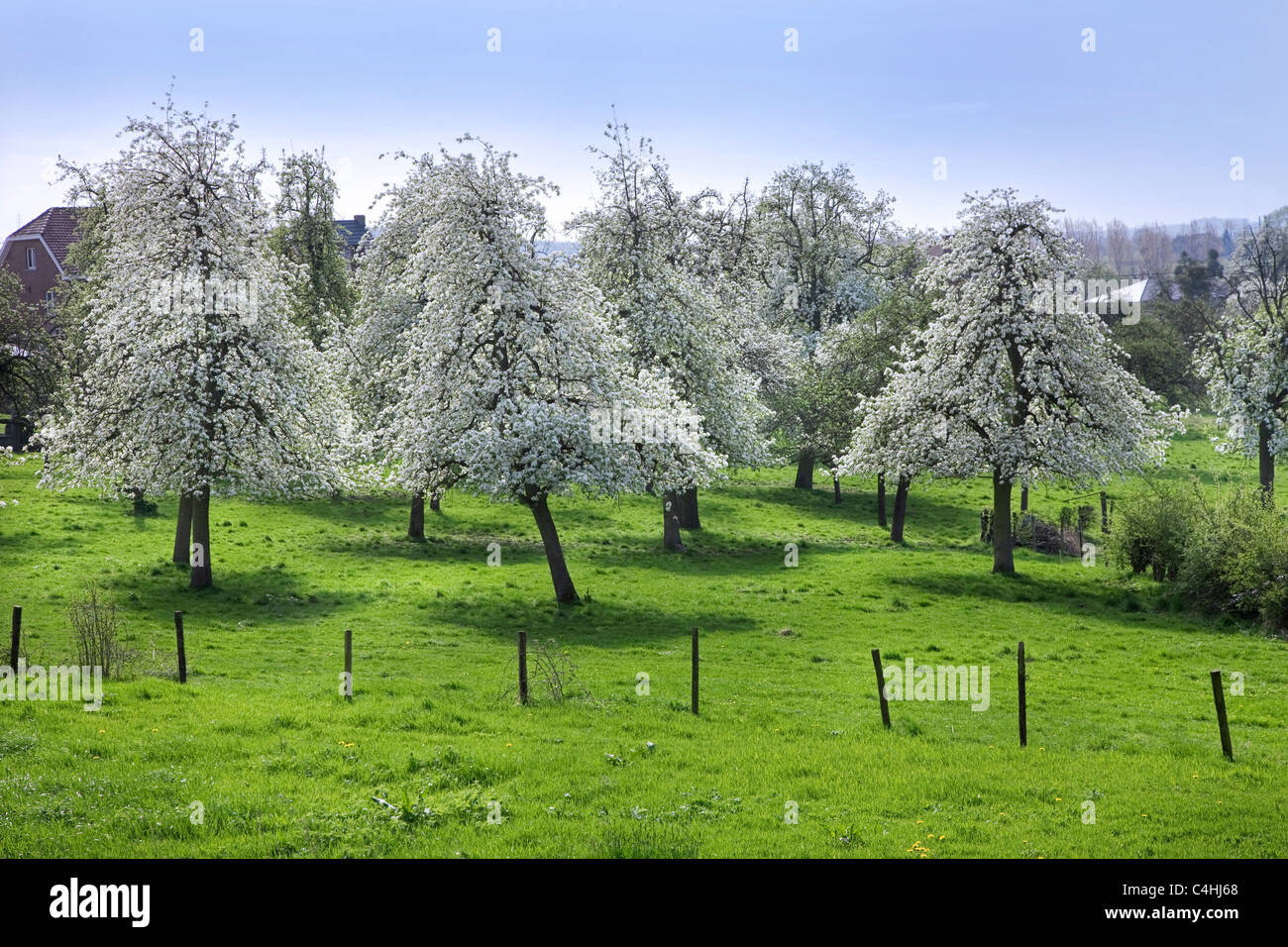 Orchard with pear trees (Pyrus) blossoming in spring, Hesbaye, Belgium - Stock Image