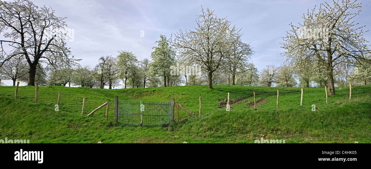 Fruit trees flowering in orchard in spring at Groot-Loon, Hesbaye, Belgium - Stock Image