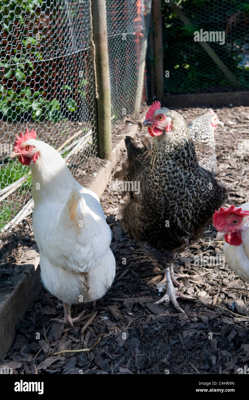 Free range chickens, breed speckledy hen and white star chickens in small holding enclosure in garden in Bristol, - Stock Image