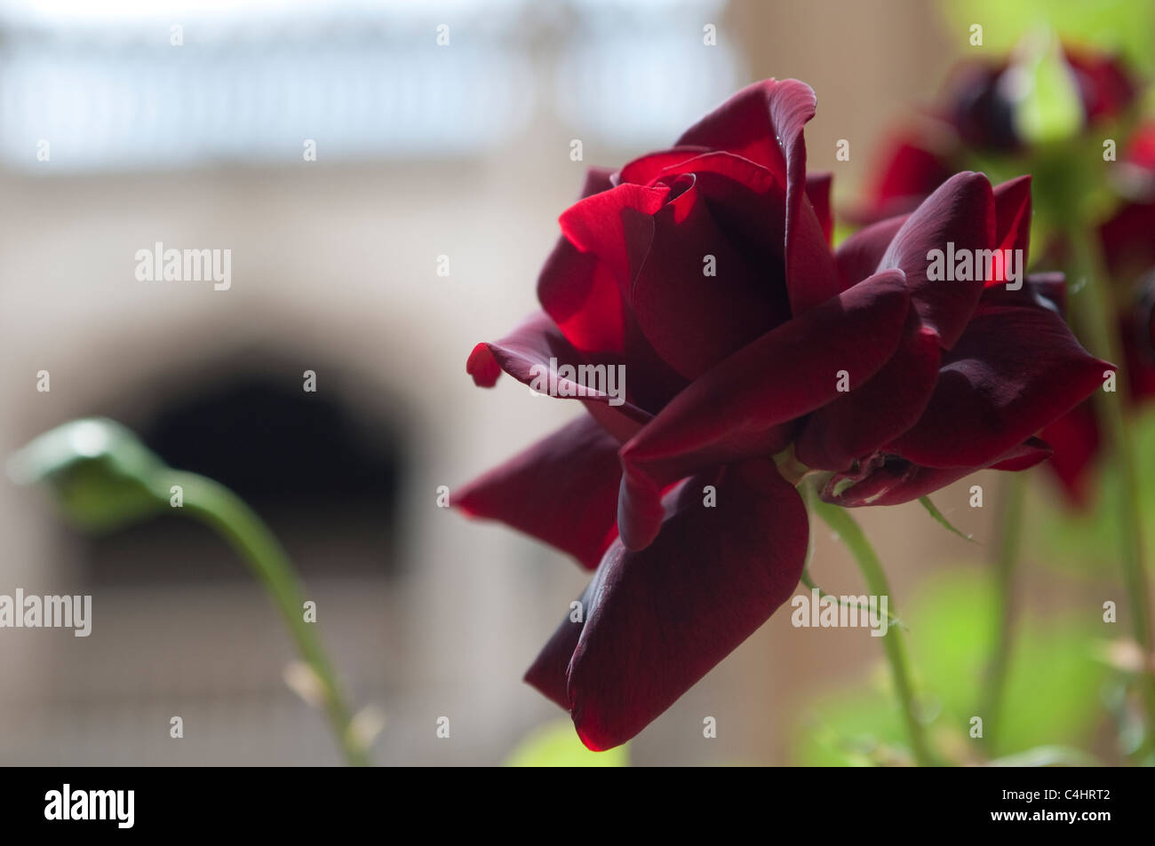 Rose, Cloister of the Monastery of San Juan de los Reyes, Toledo, Spain - Stock Image