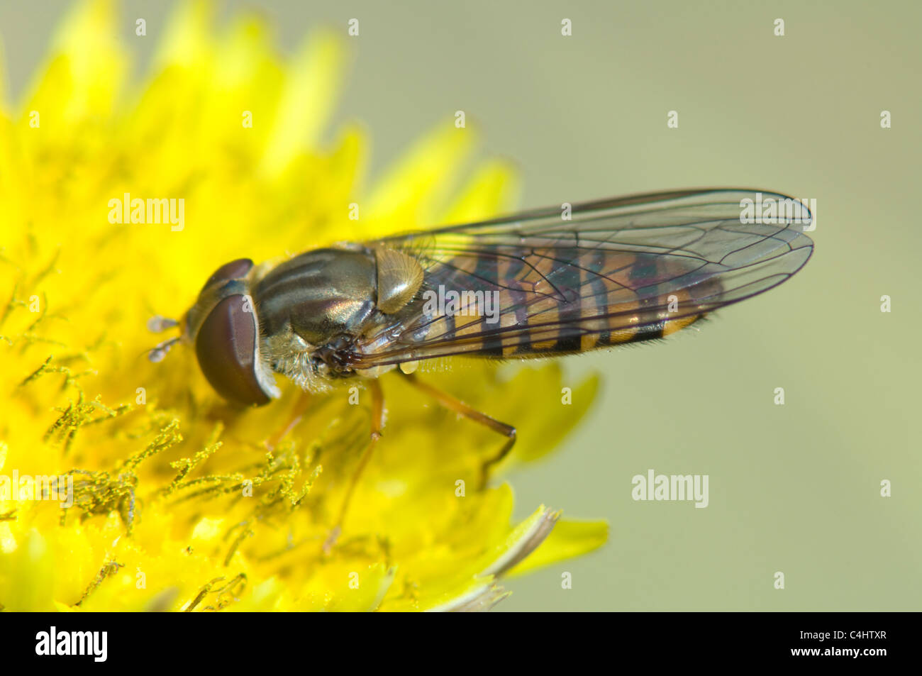 Hover-fly (Episyrphus balteatus), France - Stock Image