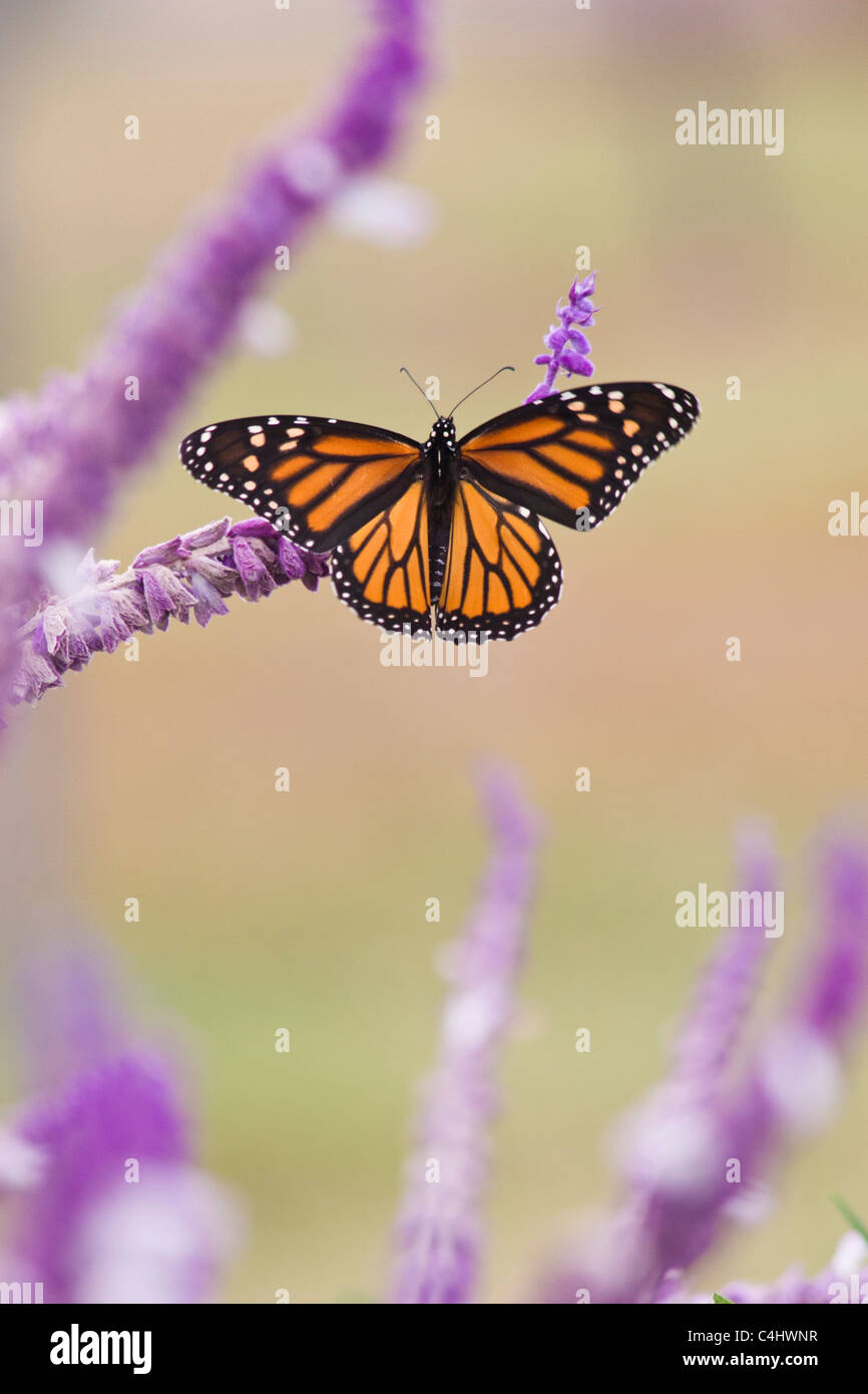 Monarch butterfly, Danaus plexippus, on Mexican Bush Sage, Salvia leucantha - Stock Image