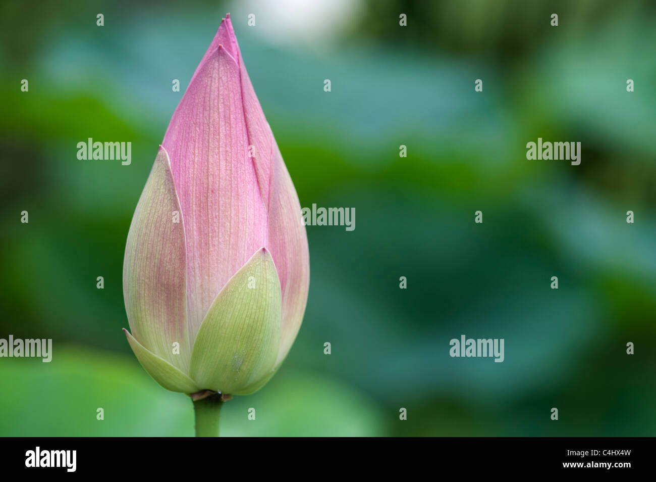 Lotus flower stock photos lotus flower stock images alamy lotus flower in bud stock image izmirmasajfo