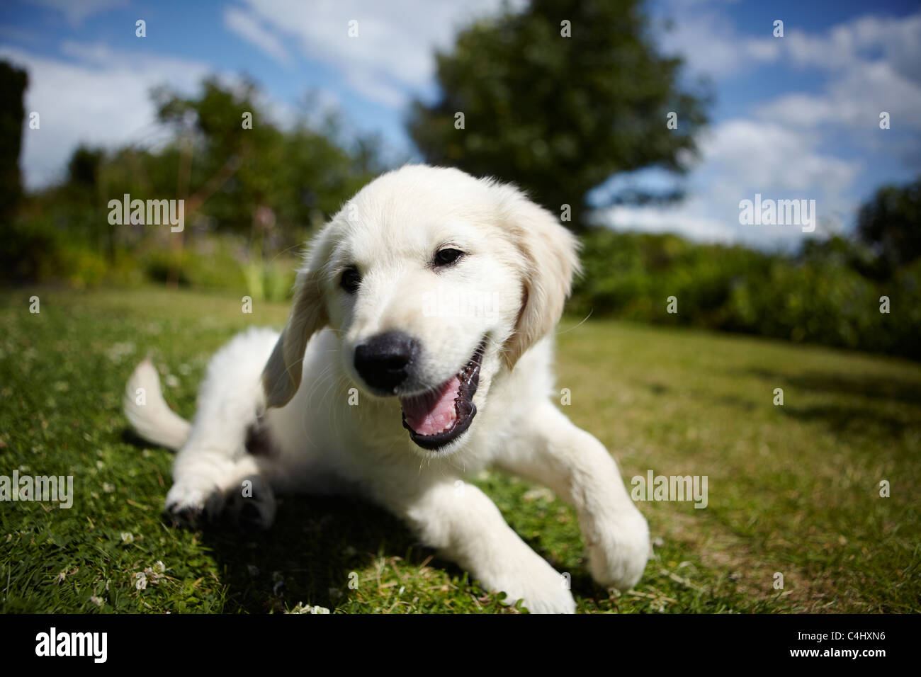 Golden retriever puppy playing in the garden Stock Photo