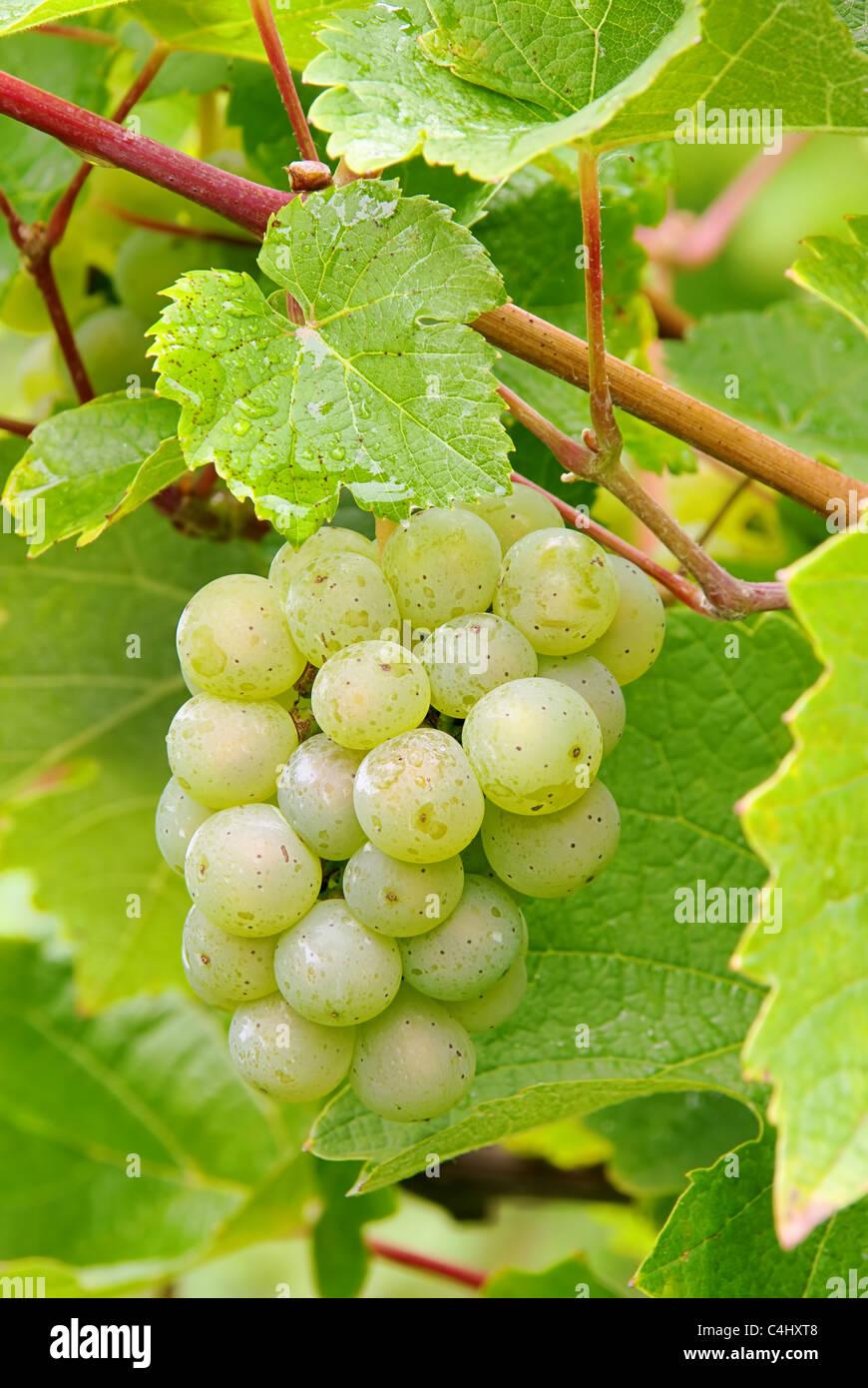 Weintraube weiss - grape white 03 Stock Photo