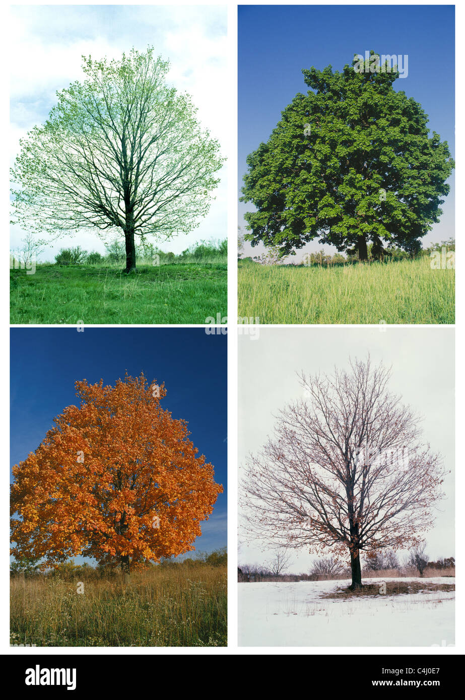 Sugar Maple (Acer Saccharum) Tree In In All Four Seasons