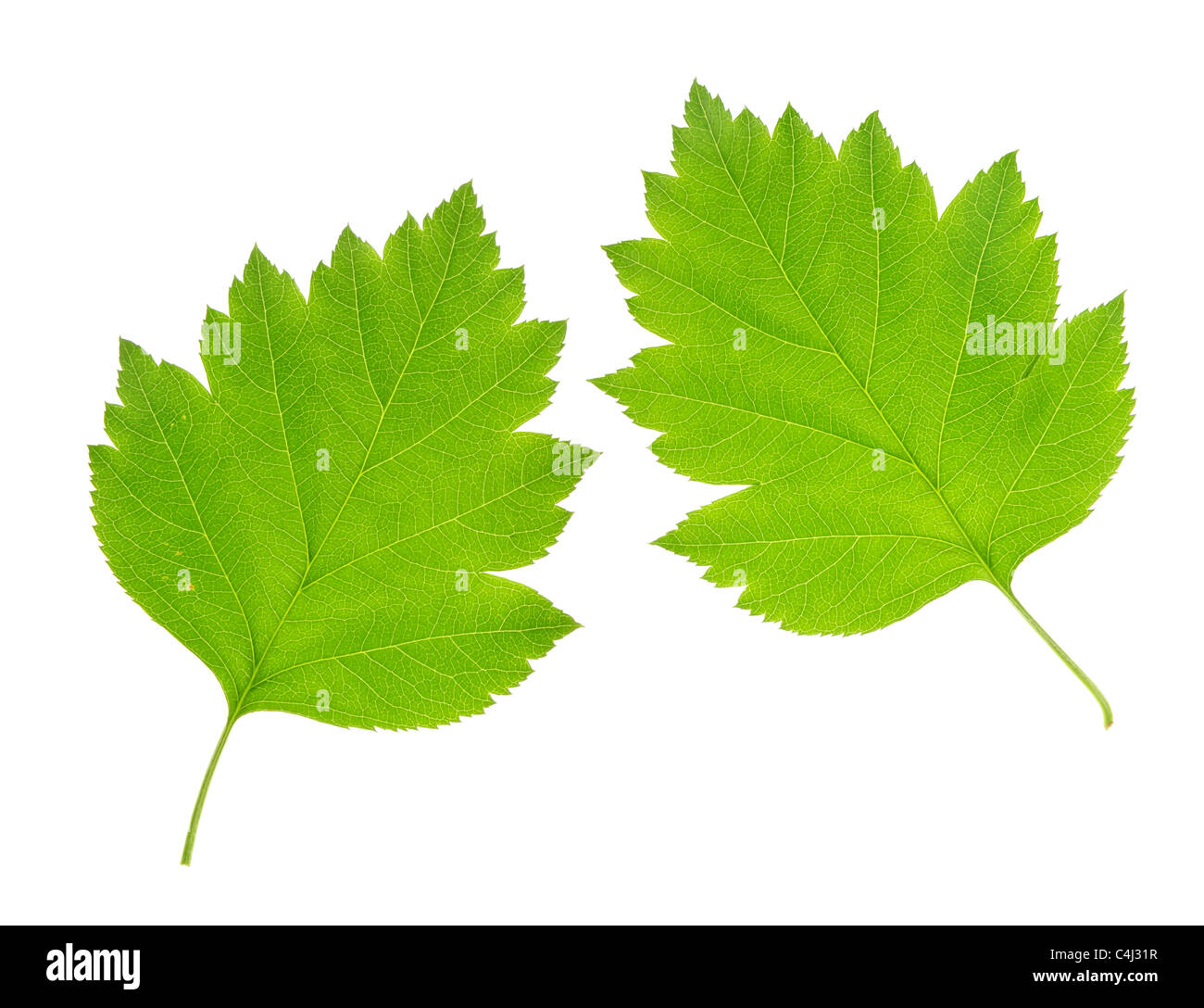 Lush green leaf isolated on white background - Stock Image