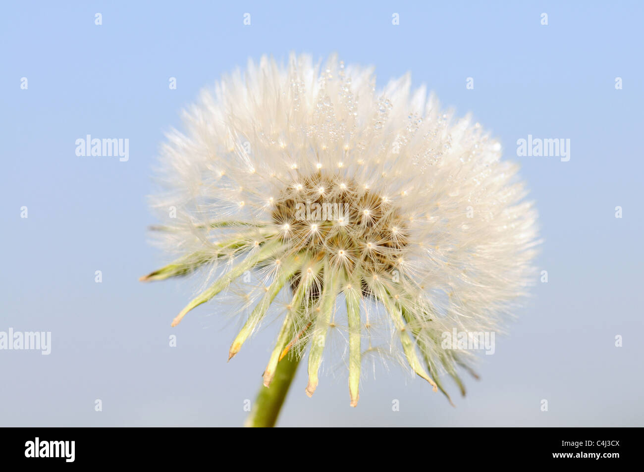 Dandelion Clocks against blue sky - Stock Image