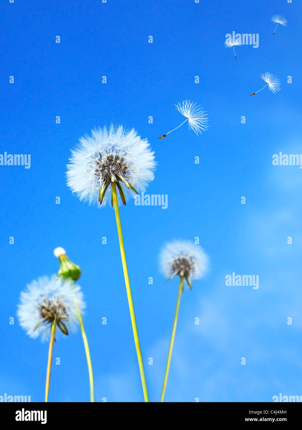 Dandelion flower field over blue sky - Stock Image