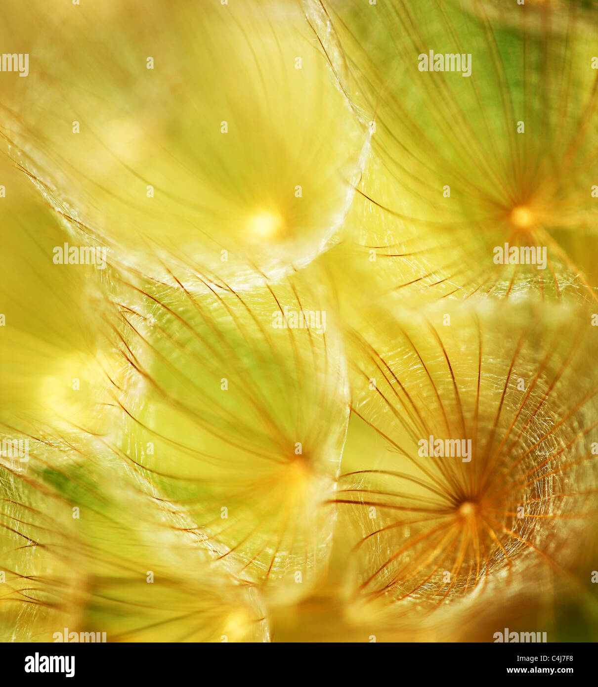 Soft dandelion flower, extreme closeup, abstract spring nature background Stock Photo