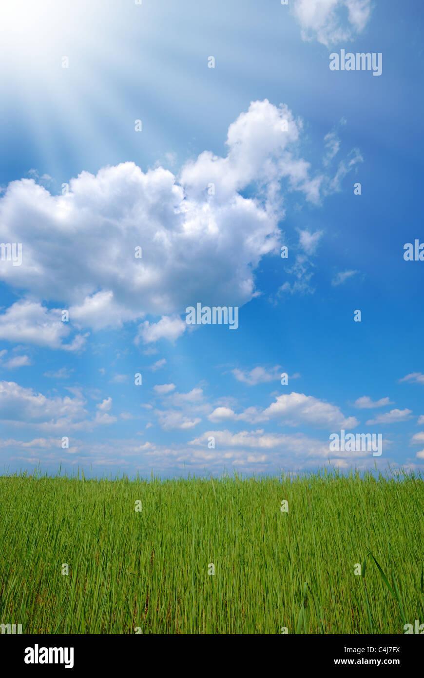 Green wheat field under cloudy sunny blue sky Stock Photo