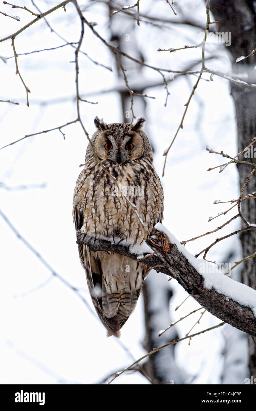 Long eared Owl (Asio otus) perching in a tree in winter - Stock Image