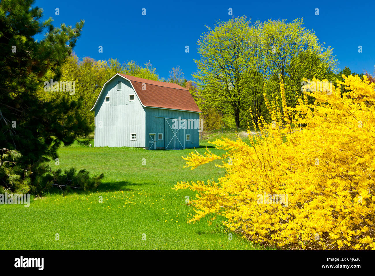 A barn with spring Forcythia bushes on the Old Mission Peninsula near Traverse City, Michigan, USA. Stock Photo
