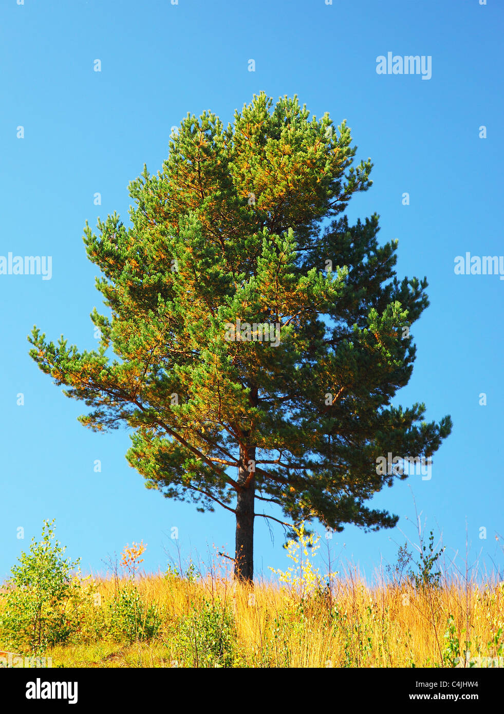 Single tree on the field, beautiful natural summer landscape, pine tree over blue sky - Stock Image