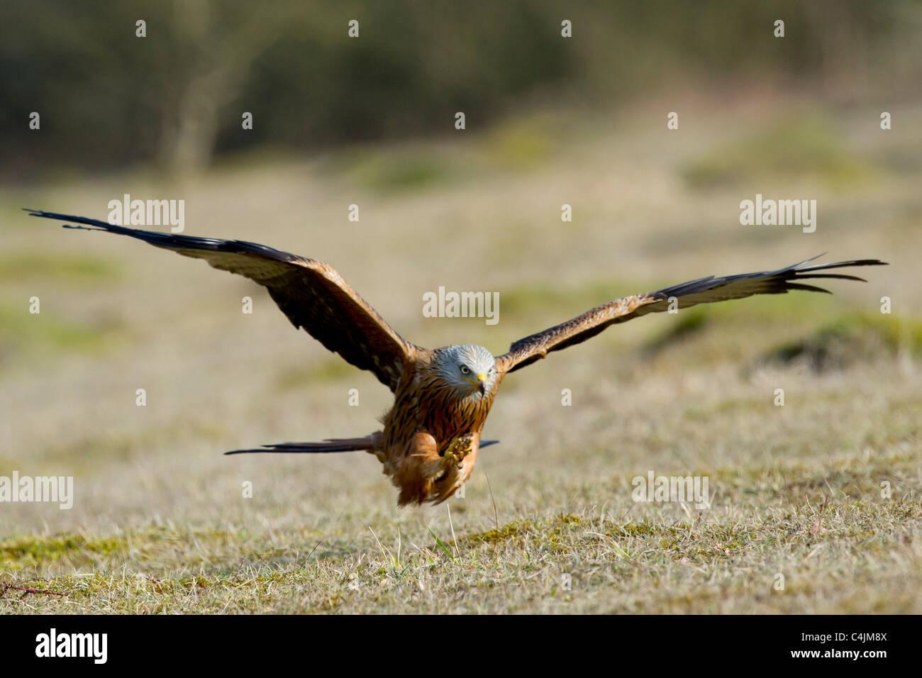 Red Kite, Milvus milvus, Accipitridae - Stock Image