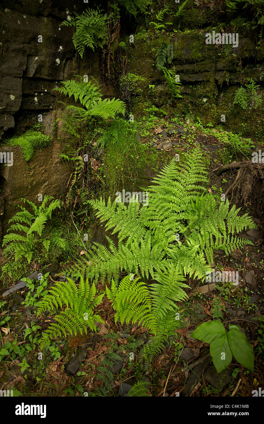 Lady Fern (Athyrium filix-femina) - New York – USA - A  dominant plant in the understory of the taiga of North America - Stock Image