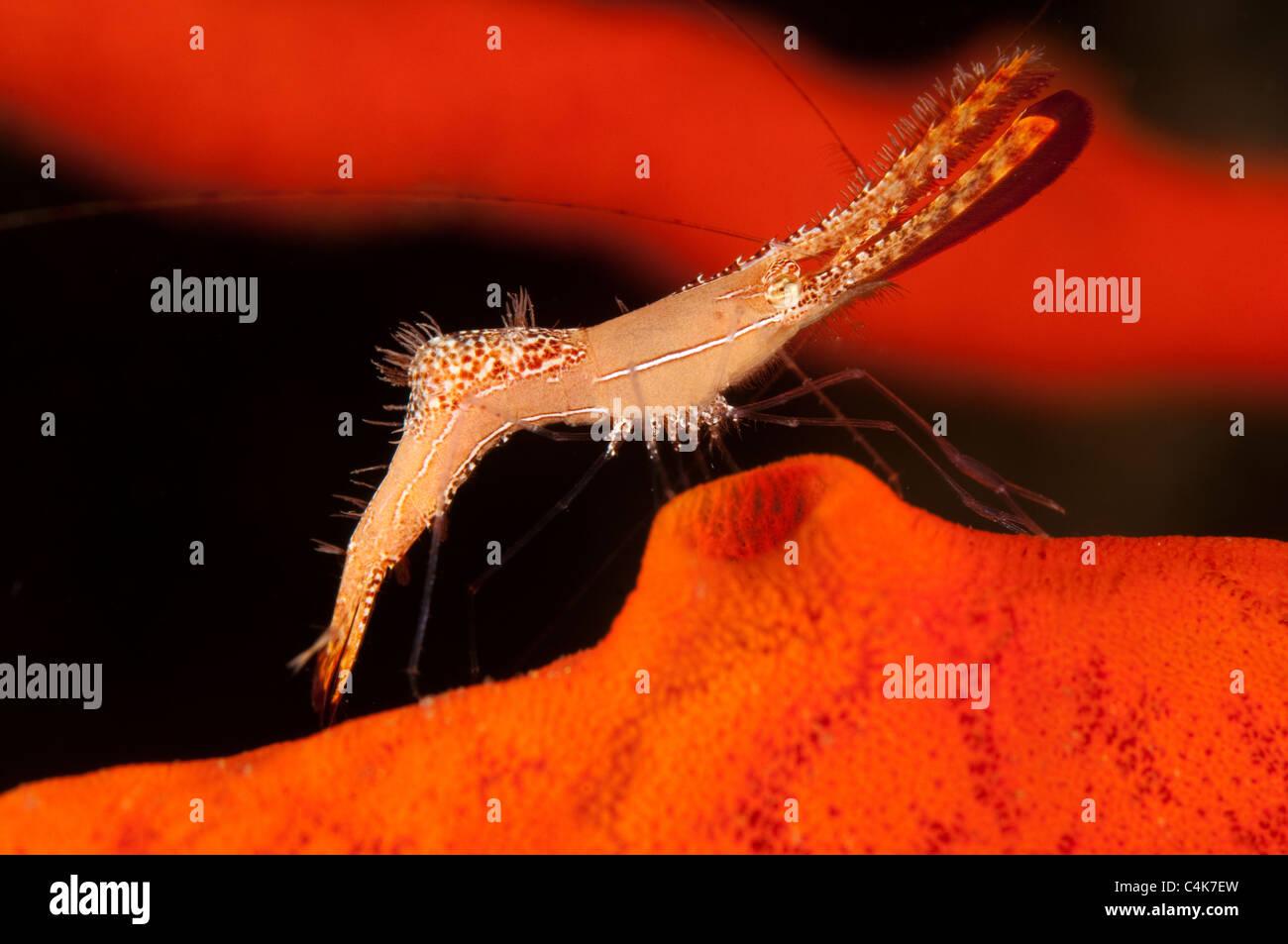 Rock shrimp Leander plumosus Sulawesi Indonesia - Stock Image