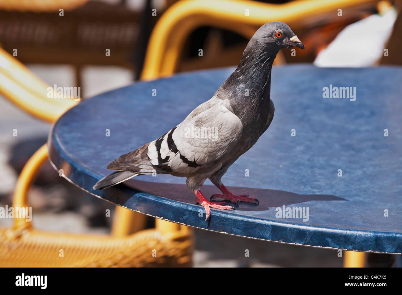 eine Stadttaube sitzt auf der Kante von einem Tisch | a city pigeon is sitting on the border of a table - Stock Image