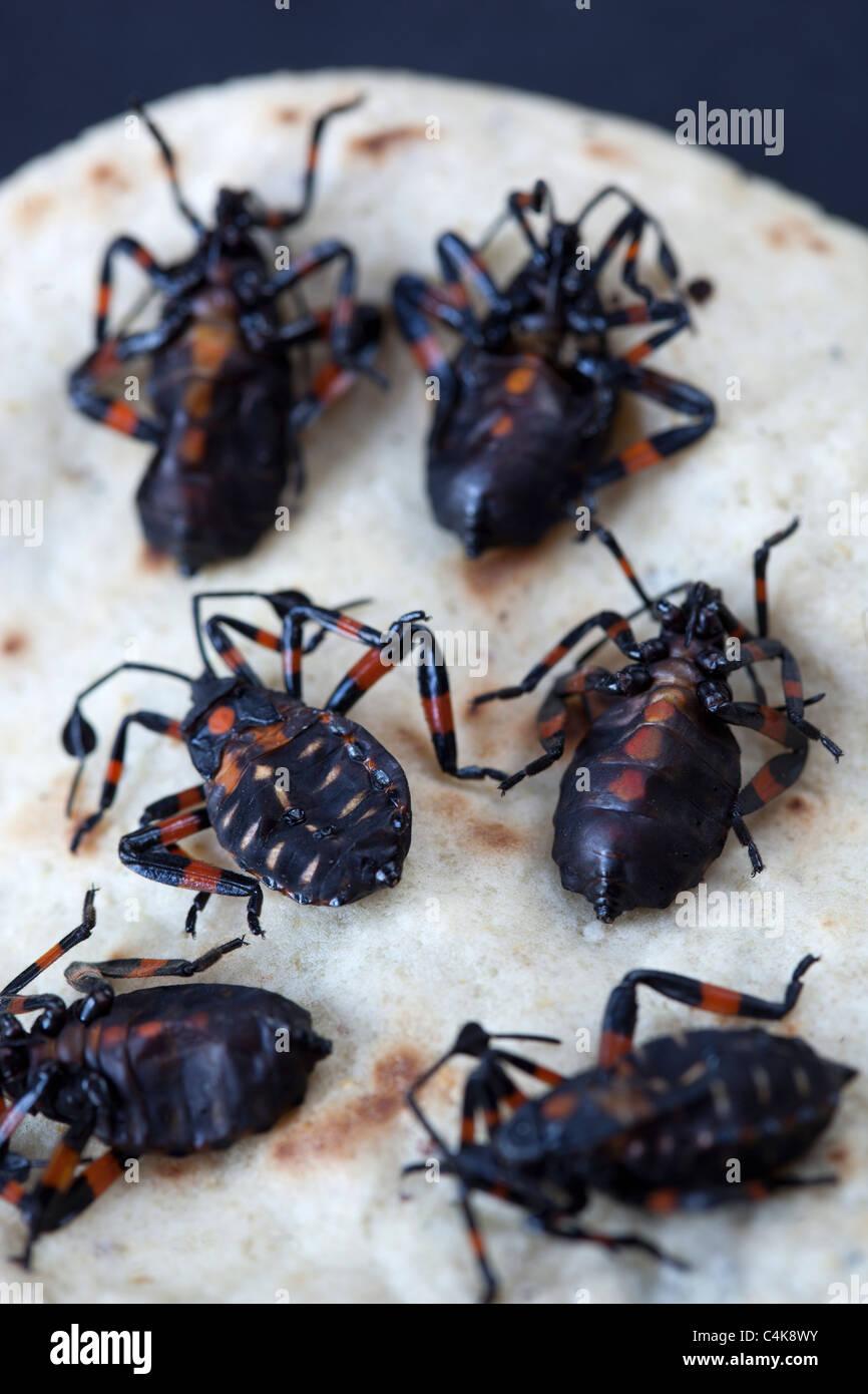 Chahuis or Xamoes Edible Beetle Mexico Stock Photo: 37303447 - Alamy