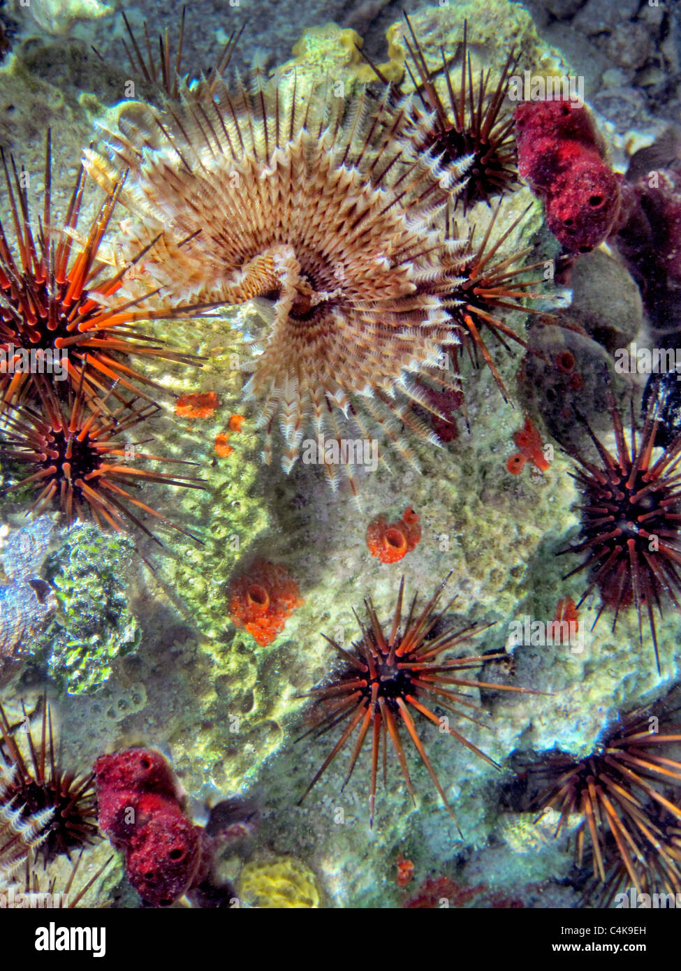 coral featherduster worm long spined sea urchin - Stock Image
